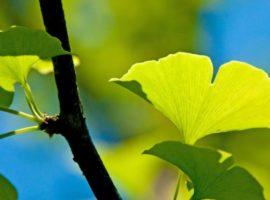 Ginkgo Biloba proprietà benefiche e naturali, usi dell'albero