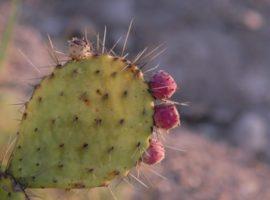 come fare lacqua di cactus per perdere peso